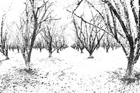 Hazelnut Grove in the Snow
